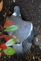 Dead pigeon found on the footpath